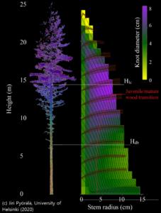 Puuaineen ominaisuudet määräytyvät puunmuodostuksessa puun allokoidessa kasvuaan pituus- ja paksuuskasvuun sekä eri puunosien välillä.